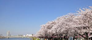 Sakura2015_1