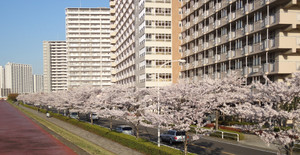 Sakura2015_3